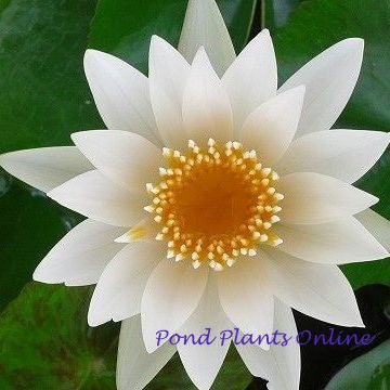White Tropical Water Lily | Grower's Choice | AVAILABLE APRIL 2021<BR>PRE-ORDER