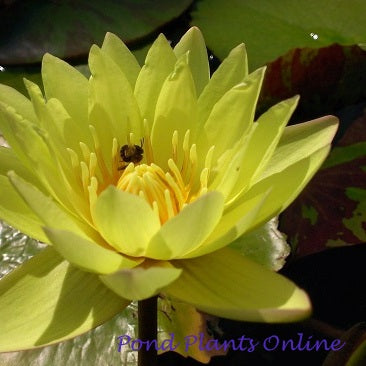 Carla's Sunshine | Tropical Water Lily