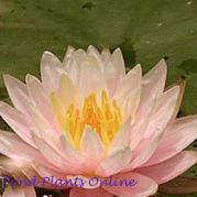Citrus Twist Waterlily | Hardy Water Lily