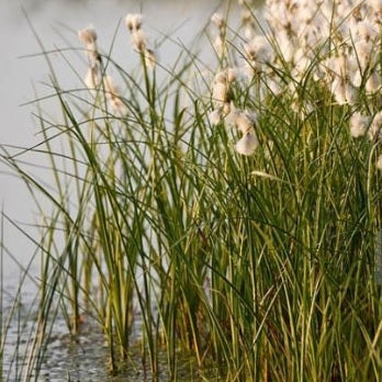 Cotton Grass | Eriophorum angustifolium