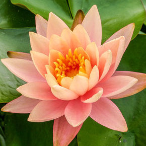 Cynthia Ann Water Lily | Small Hardy WaterLily
