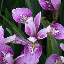 Deep Rose Iris<br>Versicolor Flag Iris