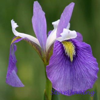 Enfant Prodige Iris | Interspecies Iris Cross | Available Spring 2021