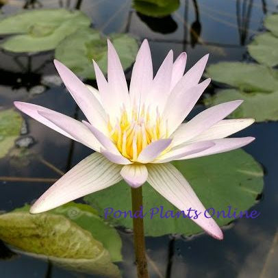 Hilary | Tropical Water Lily