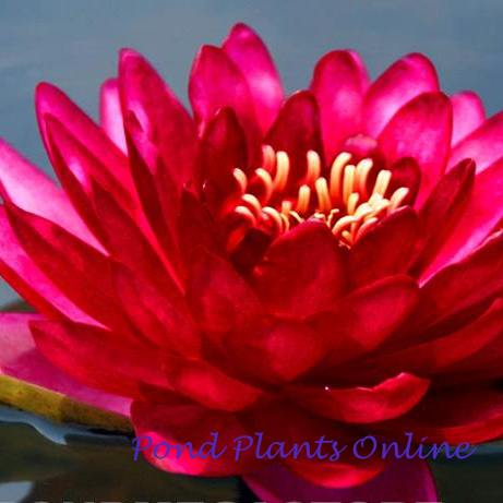 Manee Red | Red Hardy Water Lily