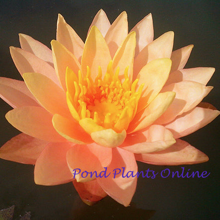 Siam Sunset | Peach Hardy WaterLily