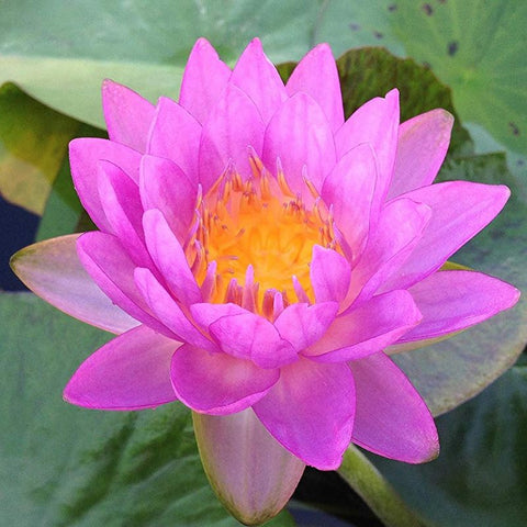 Siam Purple 2 | Purple Hardy WaterLily