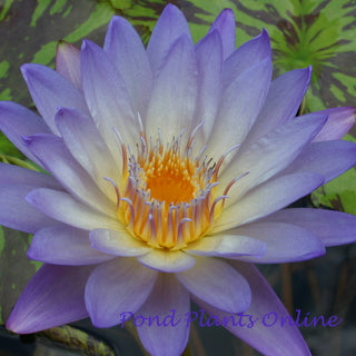 Southern Charm | Tropical Water Lily