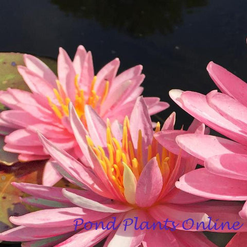 Sparkler Pink Hardy Water Lily