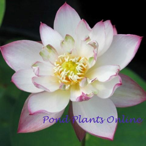 White with Red Edge Lotus