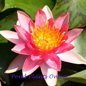 Phoebus Dwarf Pink Hardy Water Lily