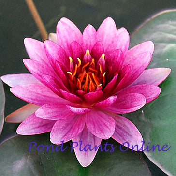 Perry's Super Red | Red Hardy Waterlily