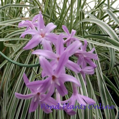 Variegated Society Garlic | Tulbaghia violacea variegata | Available Spring 2021