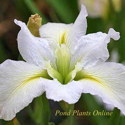 Acadian Miss<br>White Louisiana Iris
