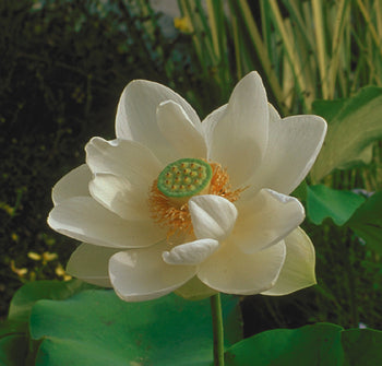 Alba Grandiflora | Asiatic White Lotus