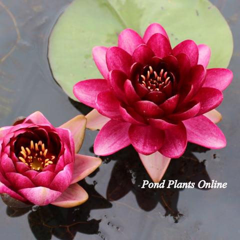 Almost Black Water Lily
