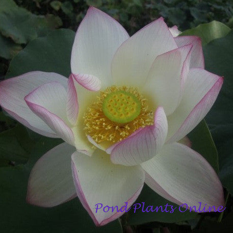 American Three Color Lotus