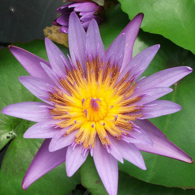 Anconas | Tropical Water Lily