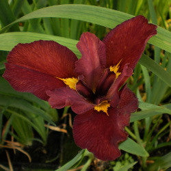 Ann Chowning | Red Louisiana Iris