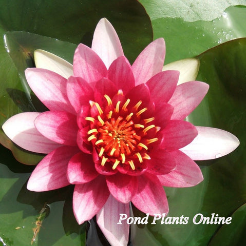 Attraction | Red Hardy Water Lily