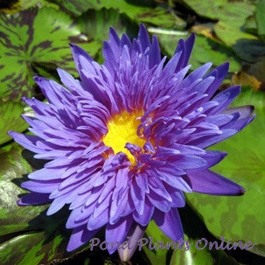 Blue Aster | Tropical Water Lily