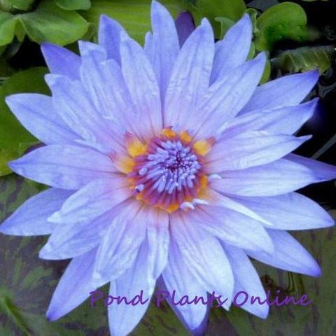 Bagdad Tropical Waterlily