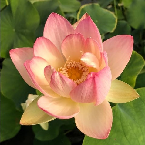Beautiful Dancer Lotus