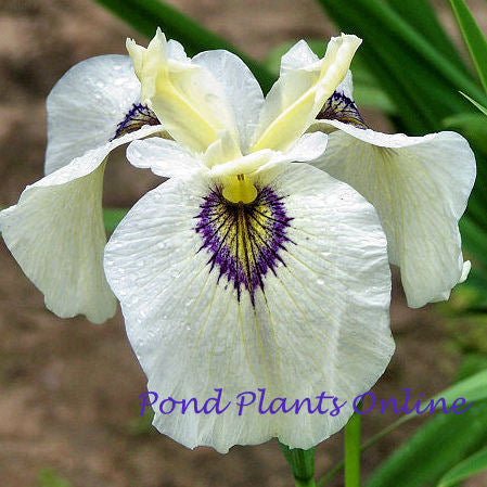 Big Mirror Iris | 'Okagami' Japanese Bog Iris | Pseudata Iris | Available Spring 2021