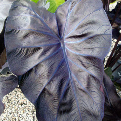 "Black Coral Taro |  Colocasia esculenta 'Black Coral' | 3.5"" Pot"