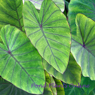 Taro 'Blue Hawaii' |  Colocasia esculenta 'Blue Hawaii'  | Ships Spring 2019