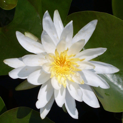 Assorted White | Hardy WaterLily | Available Spring 2021