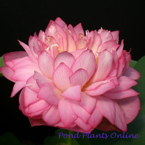 Celebration Lotus | Huan Qing