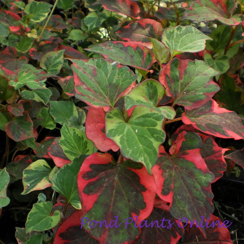 Chameleon Plant | Houttuynia cordata variegeta | Available Spring 2021