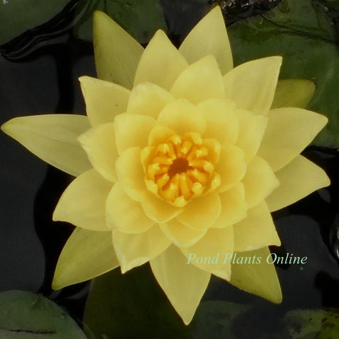 Chromatella Water Lily