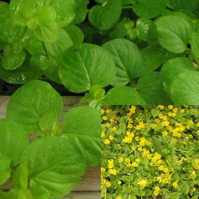 Creeping Jenny | Lysimachia nummularia | Bunched<br>Available Spring 2021