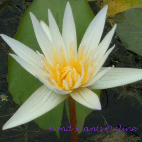 Dauben Tropical Water Lily