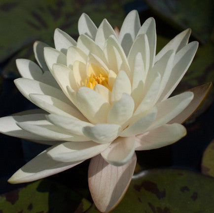 Denver | White Hardy WaterLily