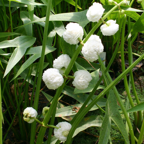 Double Flowering Arrowhead | Sagittaria japonica | Available Spring 2021