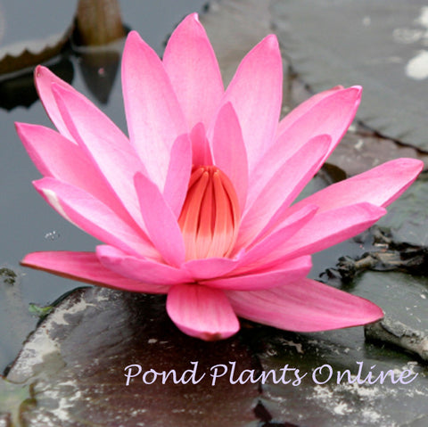 Emily G. Hutchings | Pink Night Blooming Tropical Water Lily | AVAILABLE APRIL 2021<BR>PRE-ORDER