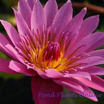 Evelyn Randig Tropical Water Lily