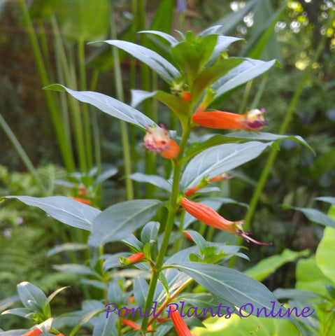 Firecracker Plant | Cuphea ignea | Available Spring 2021
