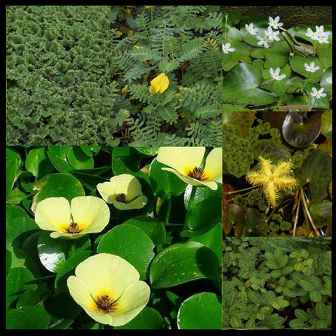 Flowering Deluxe Floating Plant Collection | Large | California Approved