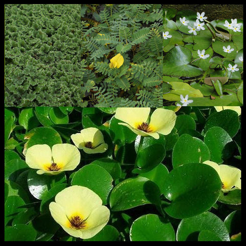 Lily-Like Flowering Plants and Floating Plant Collection | Small
