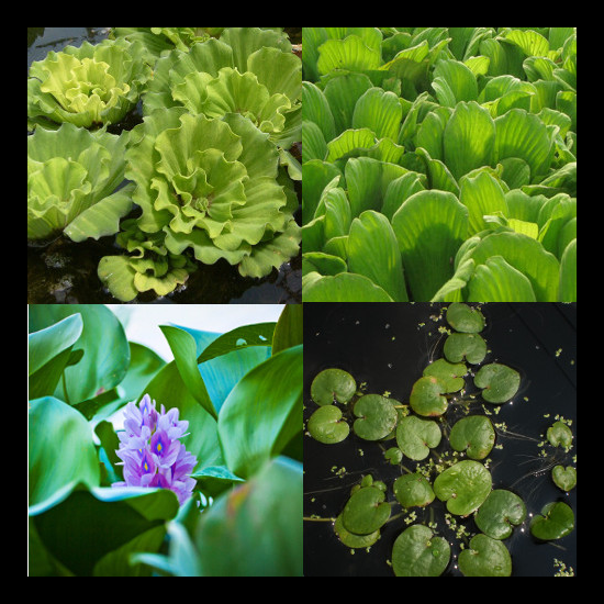 Floating plant collection small pond plants online for Best aquatic plants for small ponds