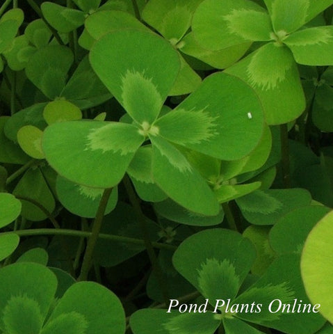 Four Leaf Water Clover | Marsilea mutica | Available Spring 2021