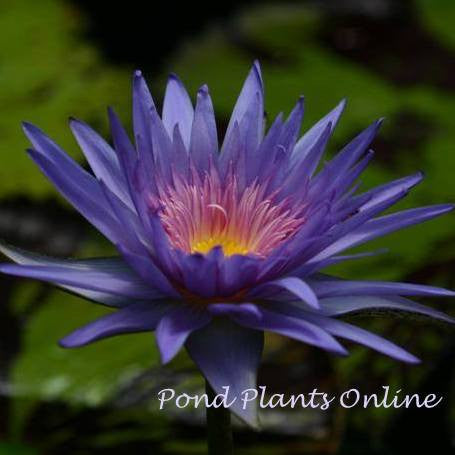 Foxfire | Tropical Water Lily