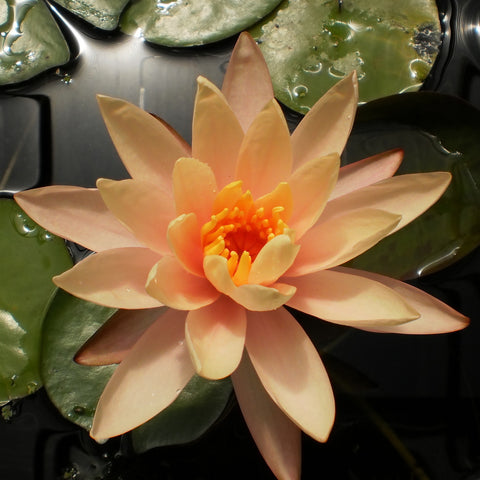 Georgia Peach | Hardy WaterLily