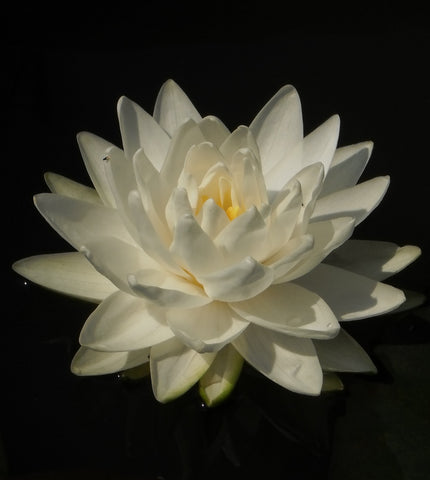 Gonnere | Hardy White WaterLily