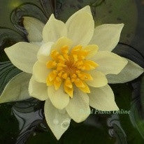 Helvola | Yellow Dwarf Water Lily | Ships Spring 2019