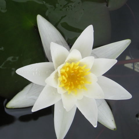 Hermine | Small White WaterLily